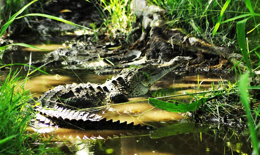 """- Majestuoso cocodrilo en su hábitat en """"Los Malacos"""" -"""