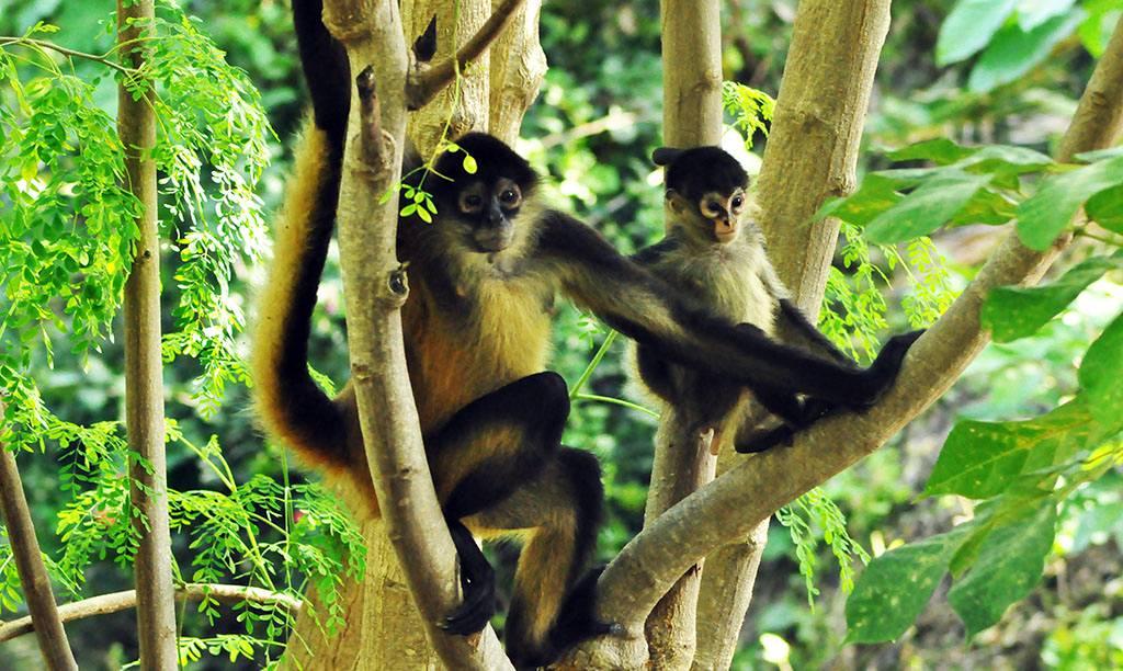 - Los monos araña viven pacíficamente. -